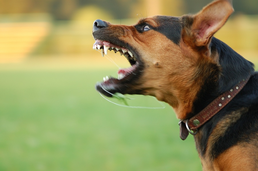 advice on dog training for aggressive dogs pet trained