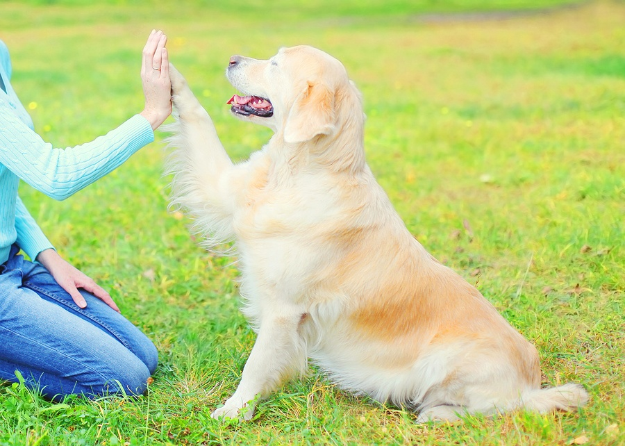 Owner Training Golden Retriever Dog On Grass In Park, Giving Paw