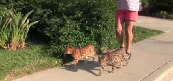 Cats take their owner for a walk (two leash trained cats)