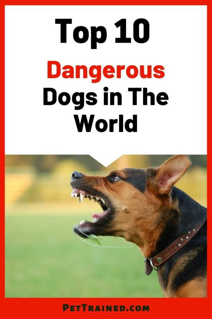 Top 10 dangerous dogs in the world today