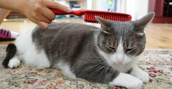 How To Groom A Cat With Matted Hair