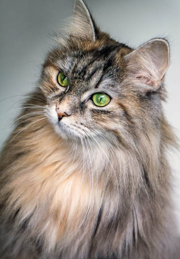 Best Brush For Long Haired Cats