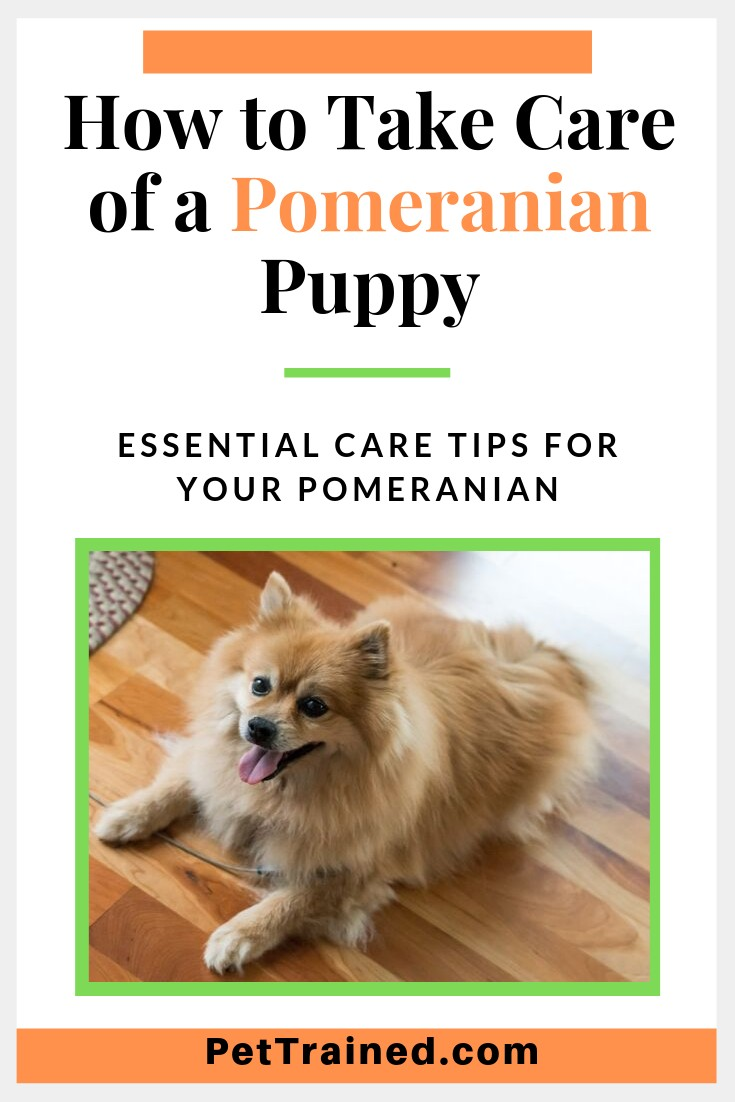 How to Take Care of a Pomeranian Puppy