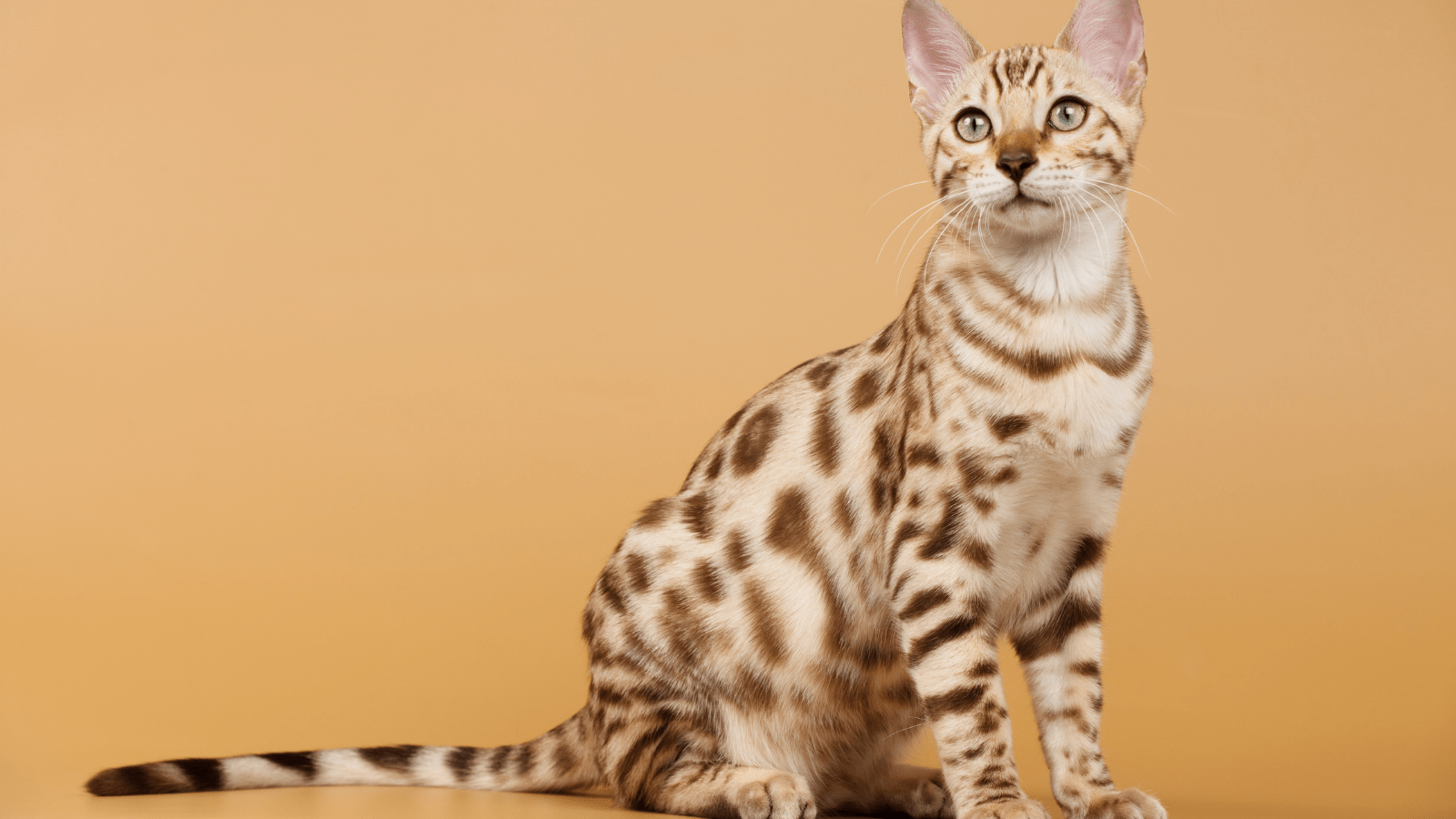 Do Bengal Cats cause Allergies