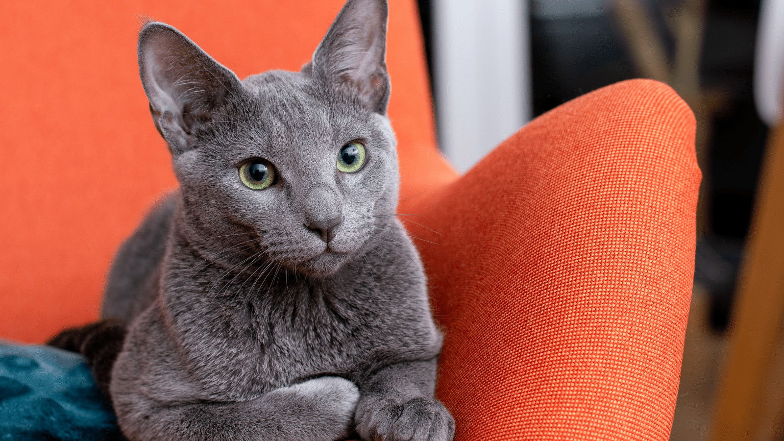 Do Russian Blue cats cause allergies