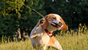 How To Get A Stubborn Dog To Walk On A Leash