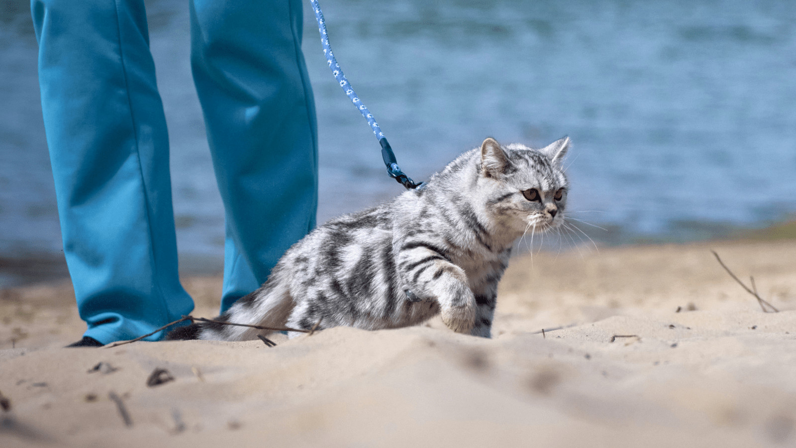 How to leash train your cat for walking