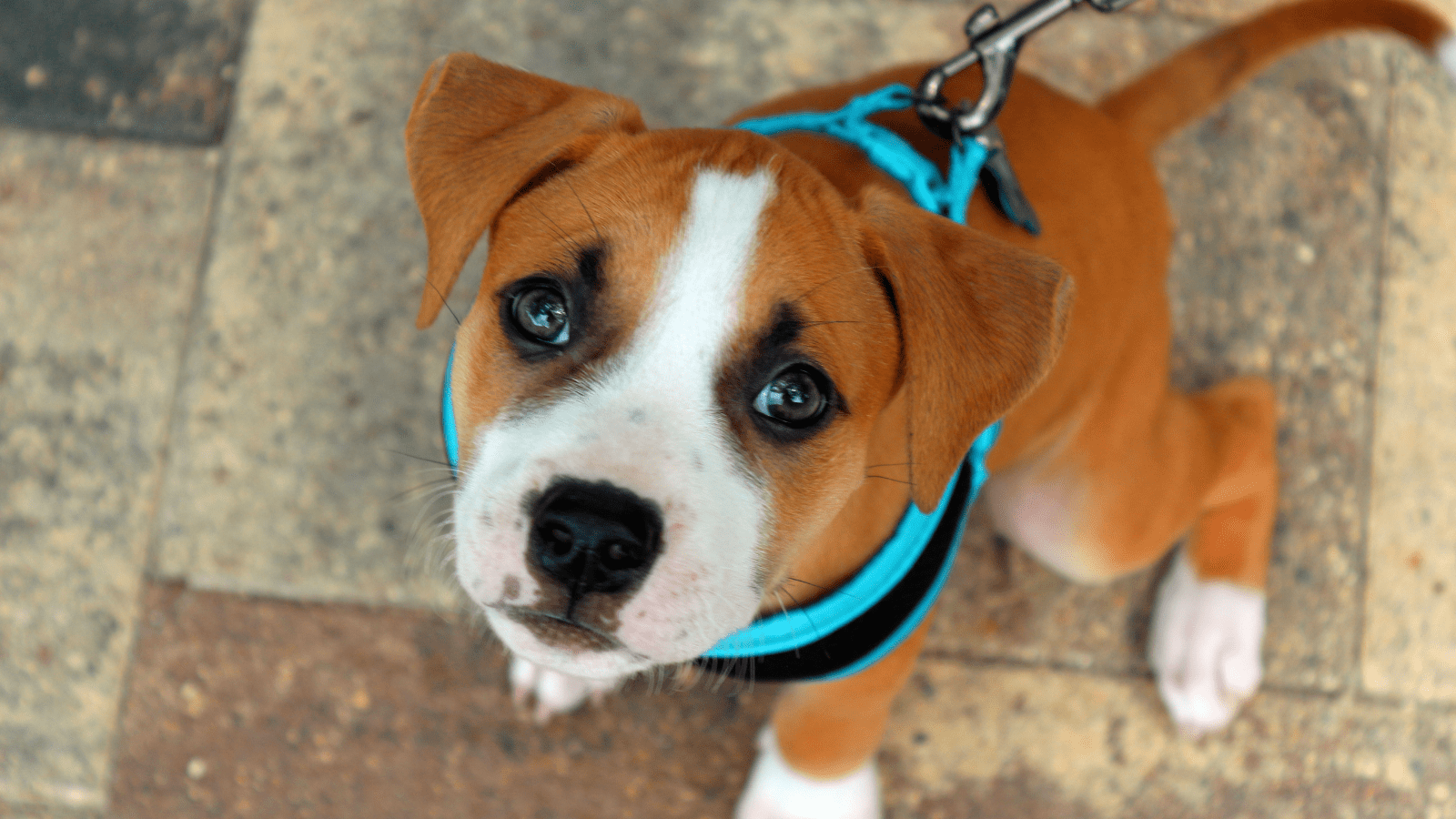 How to train a dog to wear a harness