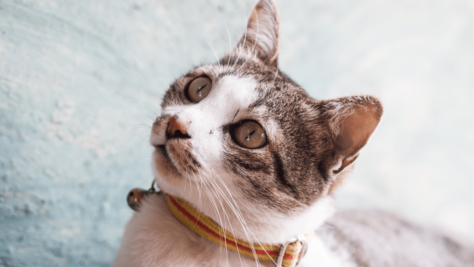 How to train a kitten to wear a collar