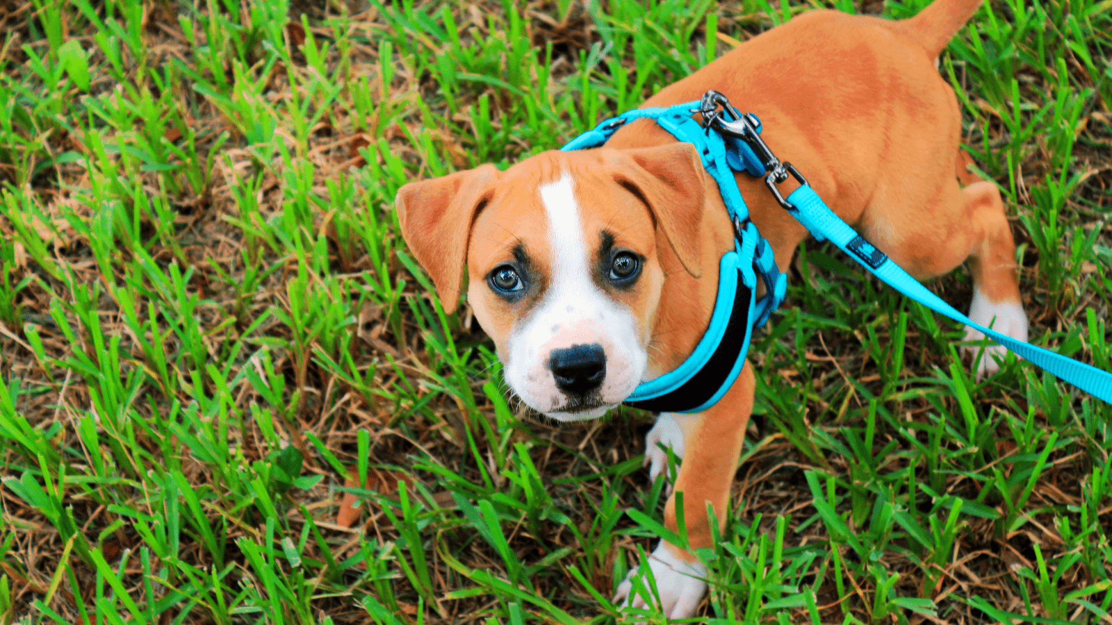 How to train your puppy to wear a harness