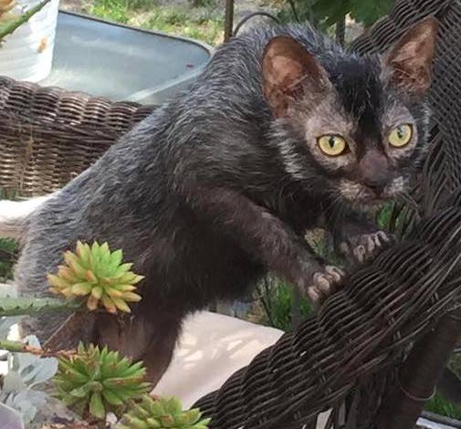 Lykoi Cat Breed cropped