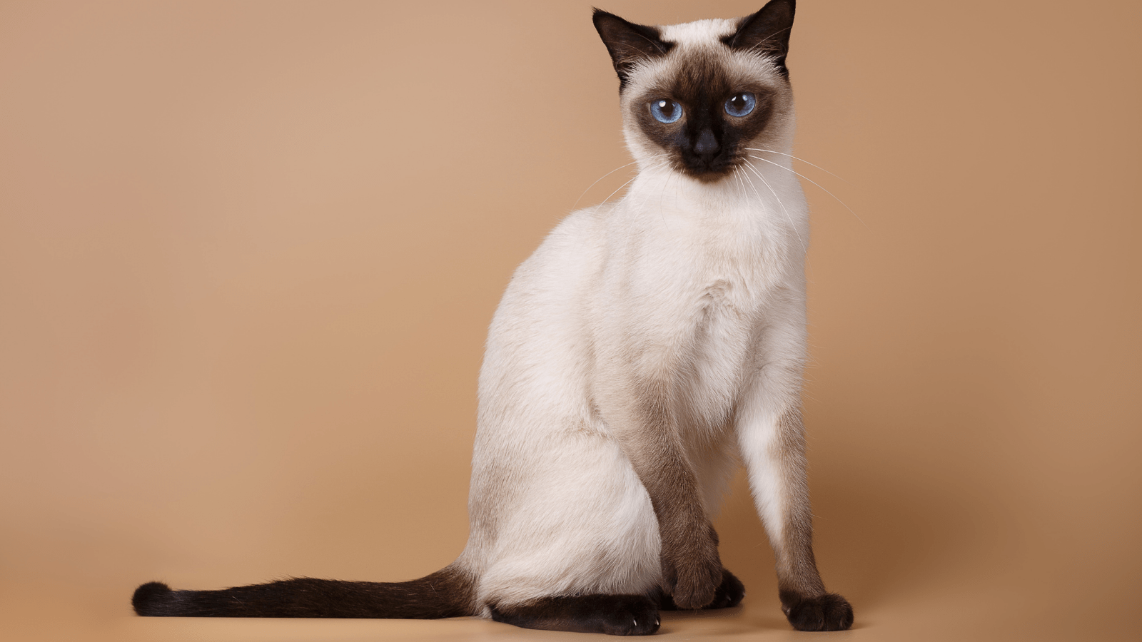 Siamese Cats do not cause allergies