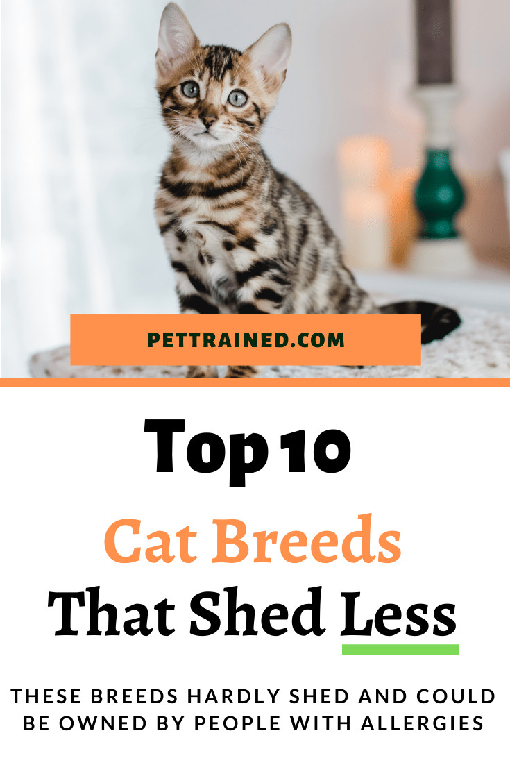 Top Cat breeds with minimal shedding