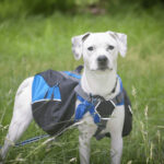 How To Train A Dog To Wear A Backpack In 5 Easy Steps