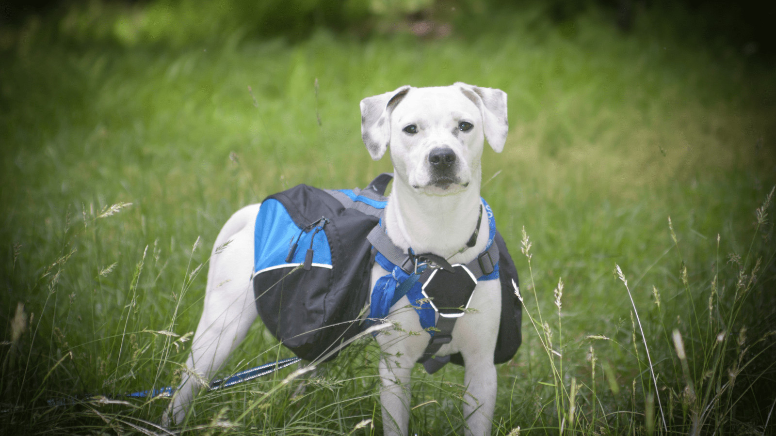 How To Train A Dog To Wear A Backpack
