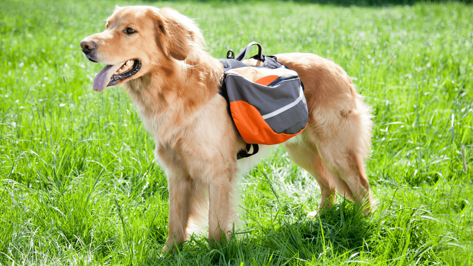 how to teach a dog to wear a backpack