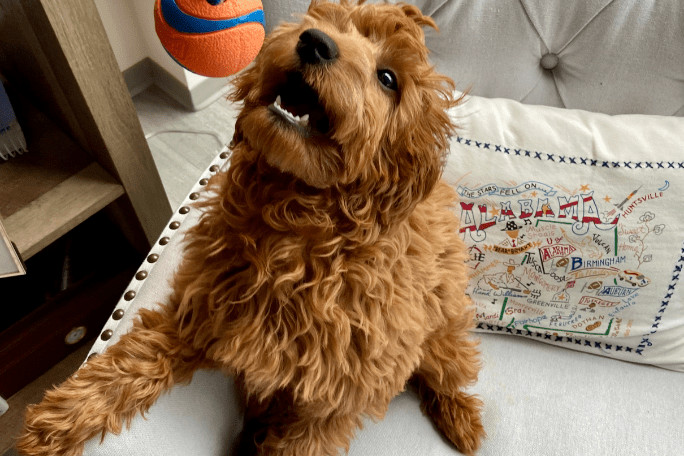 Best dog toy for goldendoodle puppies