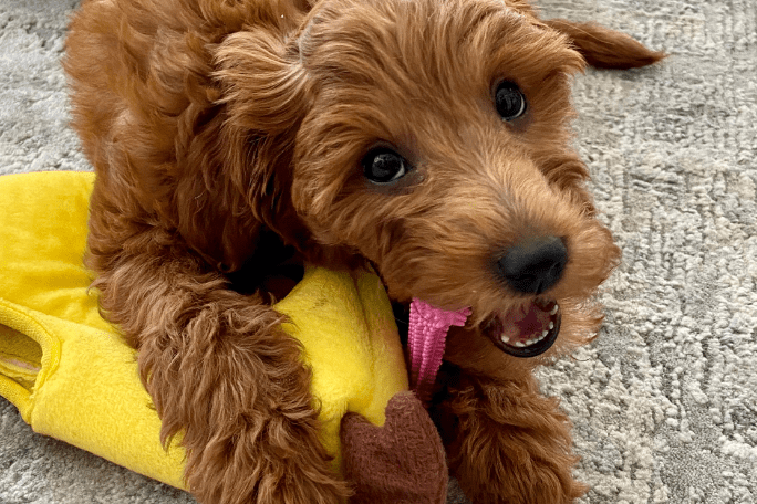 Best toys for goldendoodle puppies
