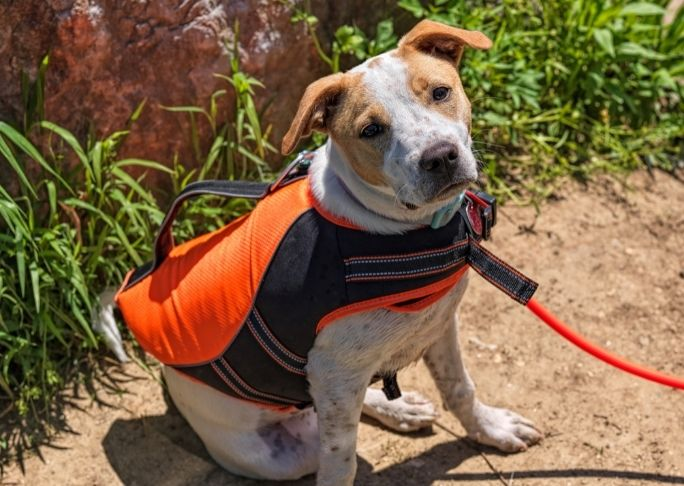 How to keep a dog cool with a dog cooling vest