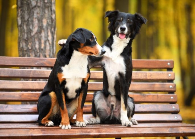 How to safety intorduce a new dog outdoors