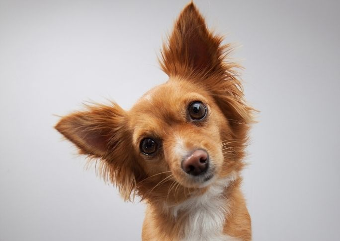 how dogs show they are listening dog ears